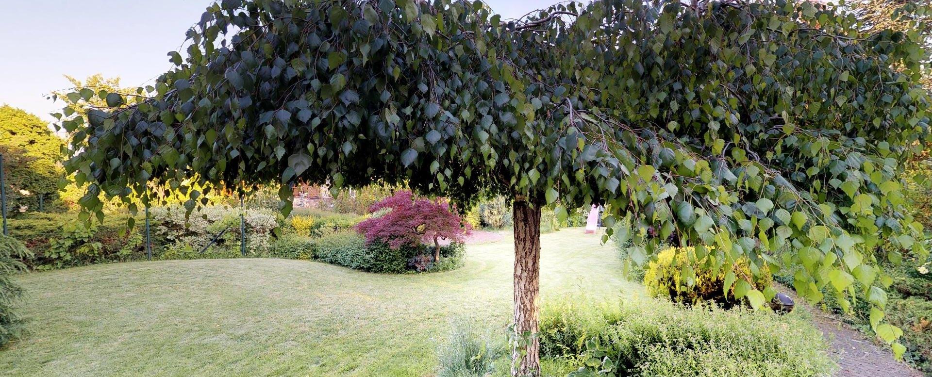 breza v záhrade
